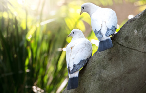 Two Torres Strait Island Pigeons from behind standing on a rock looking to their left.