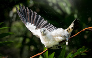 Torres Strait Island Pigeon landing on a branch with their right wing extended.