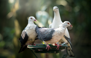 Three White-headed Pigeons standing on a feeder.