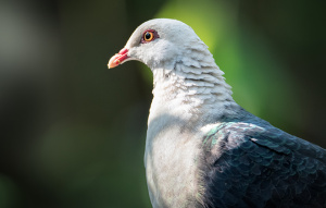 White-headed Pigeon from chest up in profile view showing lots of feather detail.