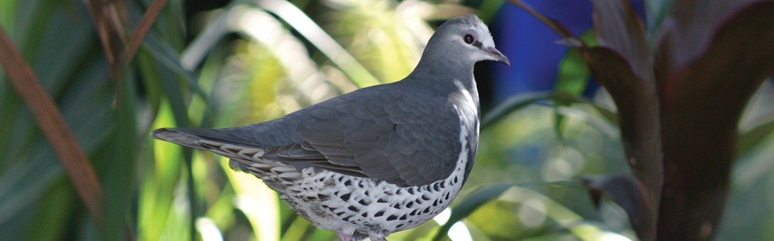 Wonga Pigeon standing in front of greenery with spotted underside showing.