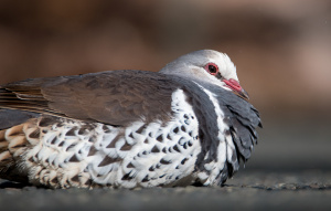 Wonga Pigeon laying on a dark surface.