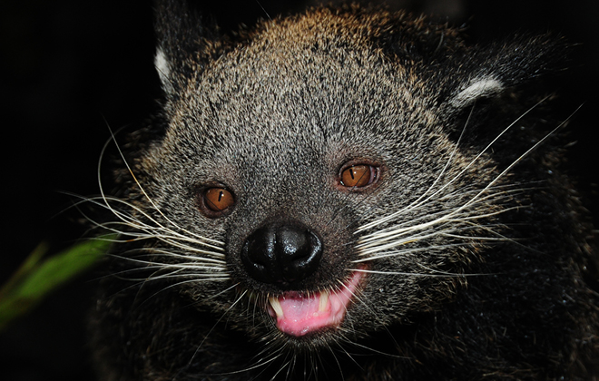 Pip the Binturong with mouth open looking at the camera.