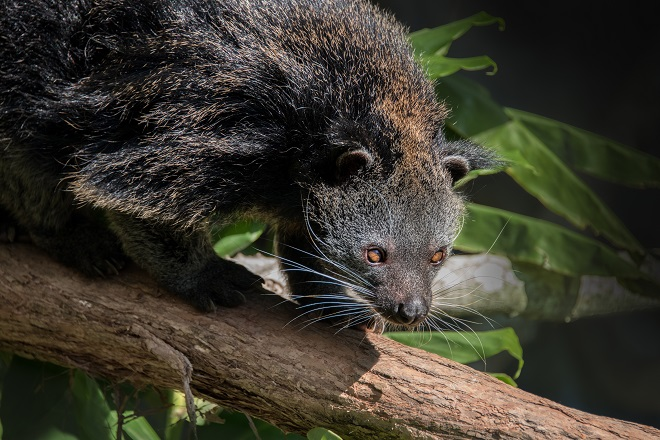 Pip the Binturong walking on a branch.