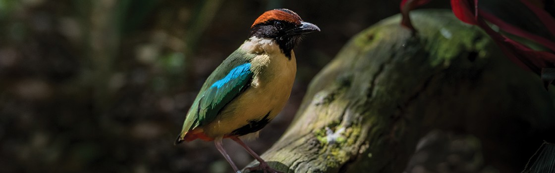 Noisy Pitta standing on a log in profile view looking to the left.
