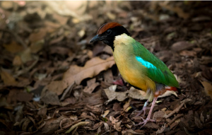 Noisy Pitta standing on a leafy ground in profile view.