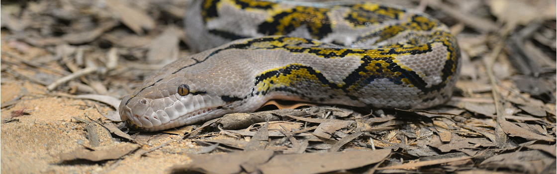 Reticulated Python camouflaged on the ground.