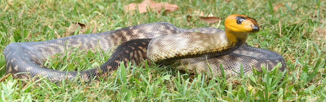Woma Python laying in the grass with their head up.