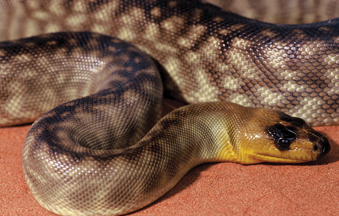 Woma Python curled and looking left.