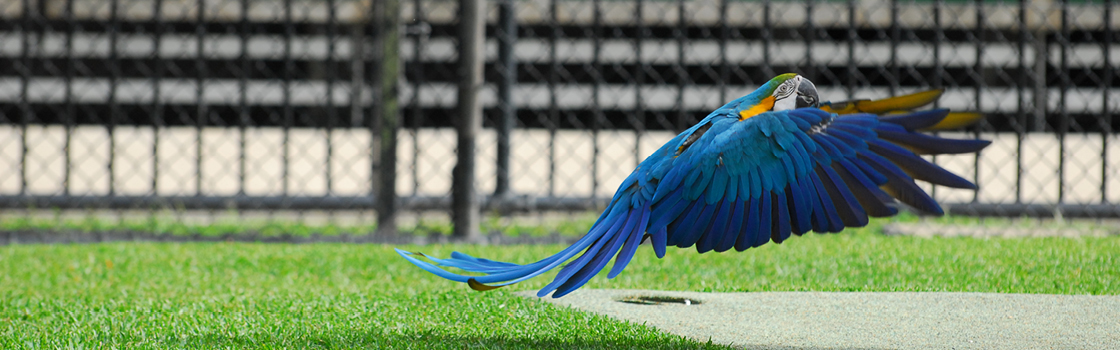 Queto the Blue-and-gold Macaw landing.
