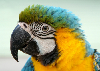 Queto the Blue-and-gold Macaw's head up close.