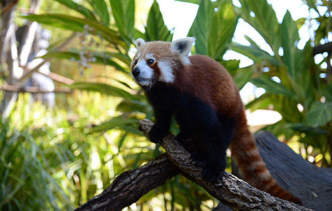 Ravi the Red Panda standing on the end of a branch looking out.
