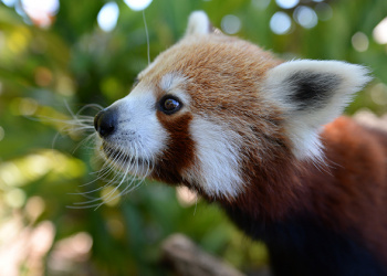 Ravi the Red Panda in profile view just the head.