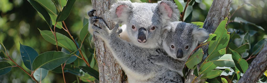 Two Koalas in a tree.