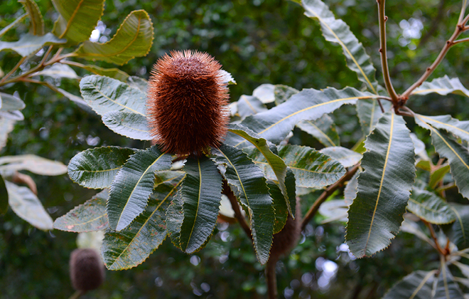 Swap Banksia Flora