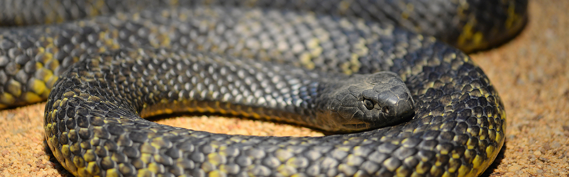 Black Tiger Snake wrapped in itself on the ground.