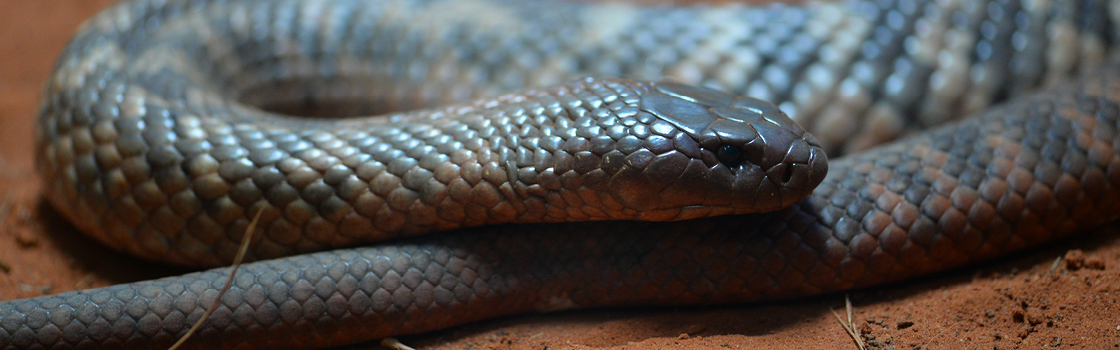 Collets Snake wrapped around itself with their head laying on the rest of the body.