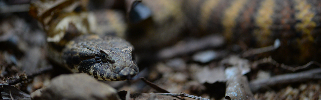 Death Adder Snake camouflaged on the ground close to their face.