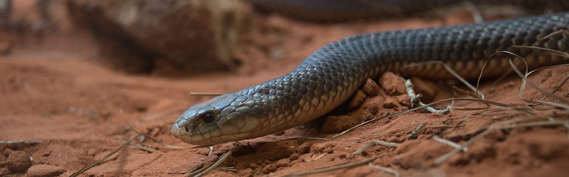 King Brown or Mulga Snake up close on red dirt.
