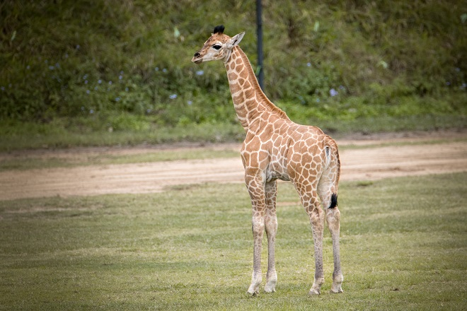 Sophie the Giraffe standing on the grass.