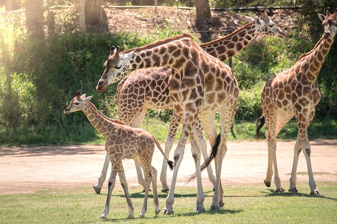 Sophie the Giraffe with a large group of Giraffes.