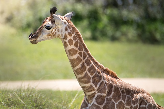 Sophie the Giraffe from neck up to show detail.