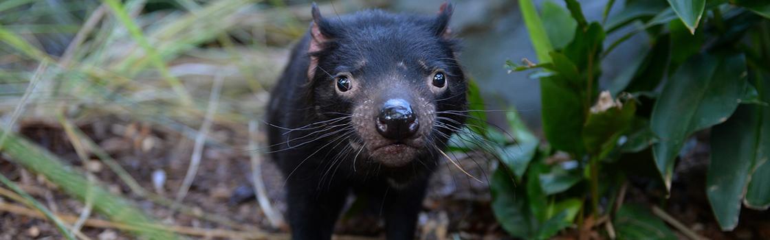 Tasmanian Devil staring at the camera.