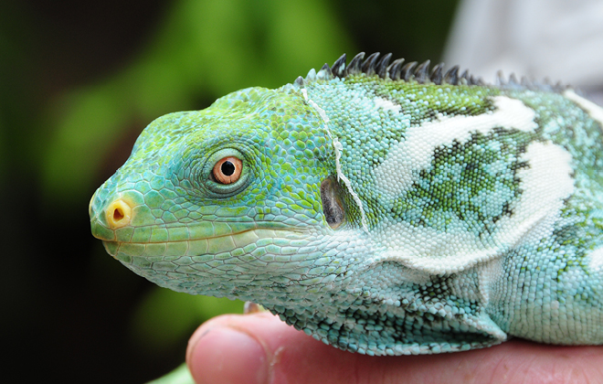 Teddy the Fijian Crested Iguana being held by a zookeeper.