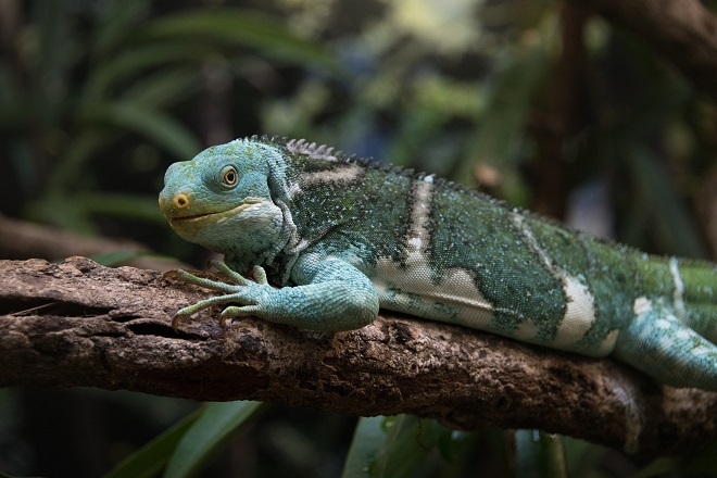 Teddy the Fijian Crested Iguana standing on a tree branch in profile view.