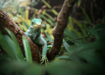 Teddy the Fijian Crested Iguana standing on a tree branch looking at the camera.