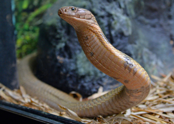 Utah the King Cobra with front half raised to look at something.