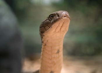 Utah the King Cobra from neck up to show detail.