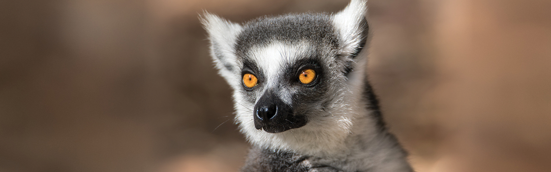 Vatobe the Ring Tailed Lemur from head up looking to the right.