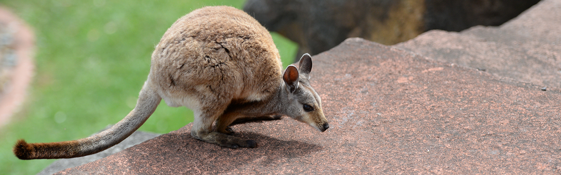 Black-footed Rock Wallaby crouched on the edge of a red rock.