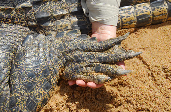 Hand holding a croc claw.