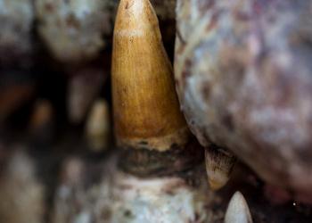 Croc tooth.