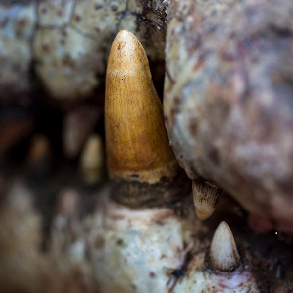 Croc tooth.