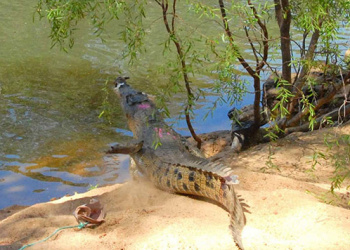 Croc being released.