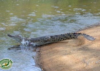 Croc half in water.