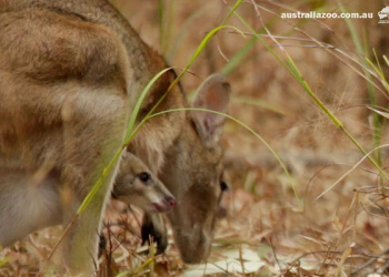 Wallaby and joey in the wild.