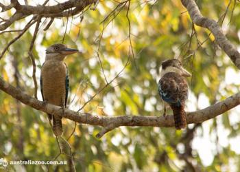 Kookaburras in the tree.