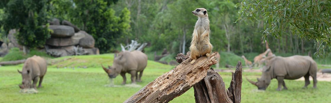 Meerkat standing on a broken branch.