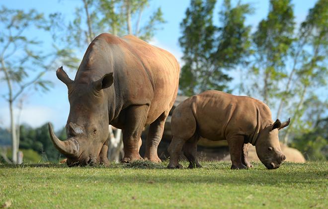 Rhinos in their Africa exhibit.