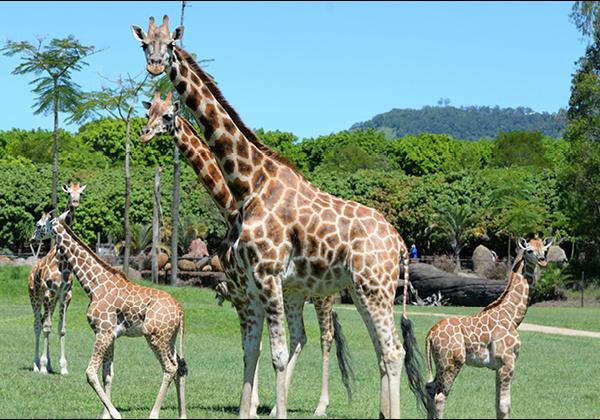 Giraffes in their open enclosure.