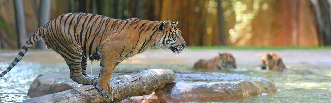 Tiger standing on a log above the water.