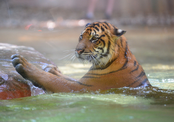 Tiger in the water.