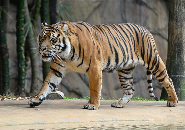 Tiger walking.