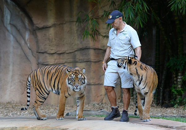 Zookeeper with two tigers.