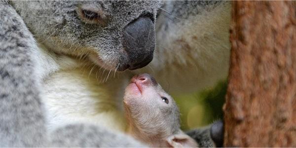 Koala joey with mum