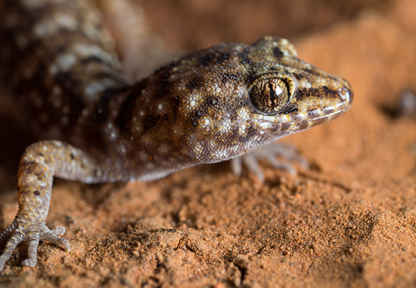 Lizard on red sand.